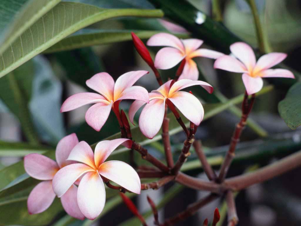 frangipaniflowers.jpg